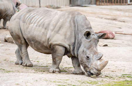 White rhinoceros in captivity in its enclosure standing in the mud Banco de Imagens