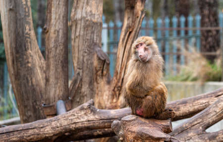 Papion or yellow baboon perched on a tree
