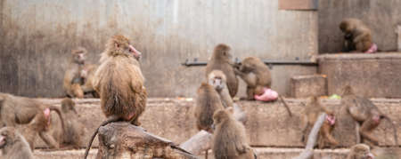 Papion or yellow baboon perched on a tree watching other baboons Banco de Imagens