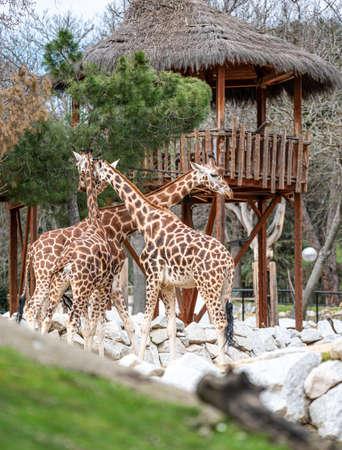 Three giraffes (Giraffa camelopardalis) near a hut in their enclosure Banco de Imagens