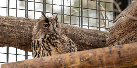 Eagle Owl (Bubo bubo) in captivity, perched on a branch in its cage