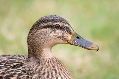 Close-up of the head and neck of a female Mallard duck (Anas platyrhynchos)