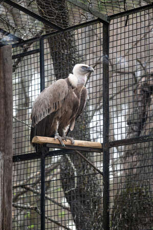 Griffon vulture (Gyps fulvus) impressive bird of prey, one of the largest that we can find in Europe, in its cage