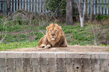 Beautiful lion (Panthera leo) lying in his zoo enclosure looking at camera