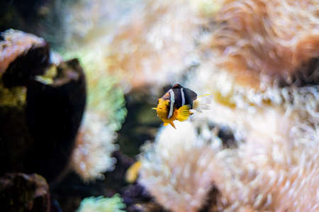 Yellow-tailed clownfish (Amphiprion clarkii) from the Pomacentridae family swimming in the coral reef