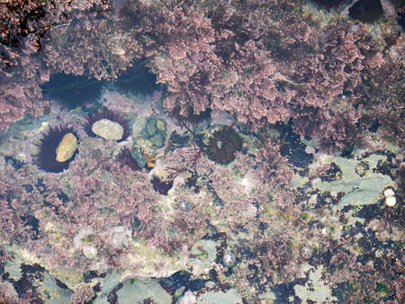 Algae and sea urchins attached to the rock in the salty water of a pond at low tide in the Cantabrian Sea Banco de Imagens