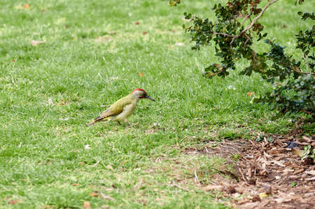 Green woodpecker (Picus viridis) or woodpecker, a species of piciform bird of the Picidae family perched on the grass of a park