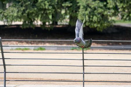 Pigeon in flight through a city park
