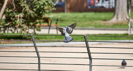 Pigeon flapping wings while flying through a park seen from behind