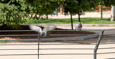 Pigeon perched on a fence in a public park while watching another pigeon fly