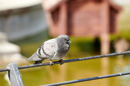Pigeon perched on a fence near a pond in a park