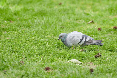 Pigeon looking for food on the grass of a park