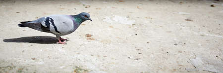 Pigeon walking on the sand in a park