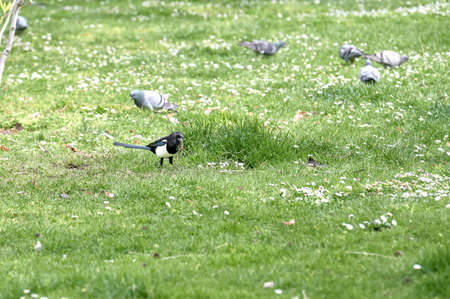 Magpie (Pica pica) of the corvidae family eating grass in a park surrounded by pigeons