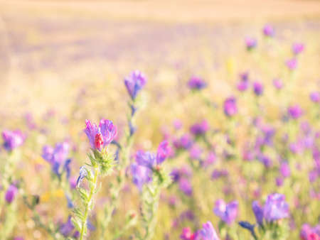 Macro view of a purple wild flower (Echium plantagineum) on an unfocused background of colored flowers giving an oil painting feel