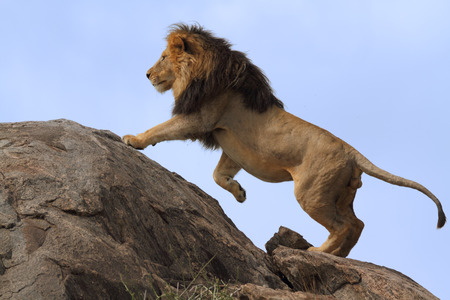 Blackmaned lion climbing on top of boulder