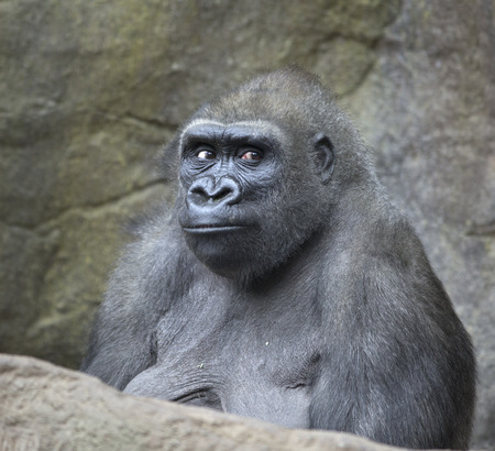 ape: Portrait of gorilla ape Stock Photo