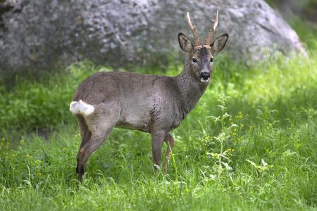 roebuck: Male roe deer in green background Stock Photo