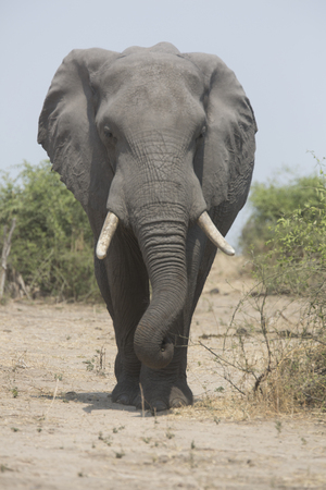 Portrait of free african elephant bull photo