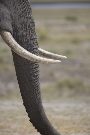 tusks: Portrait of free african elephant bull tusks