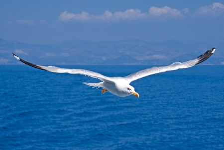 A seagull, soaring in the blue sky photo