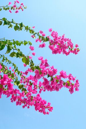 color bougainvillea: Pink blooming Bougainvilleas with blue sky as background Stock Photo
