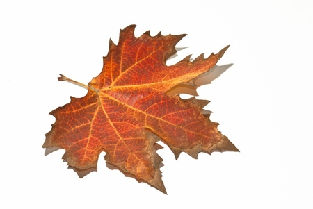 elm: Red autumn leaf on a white background Stock Photo