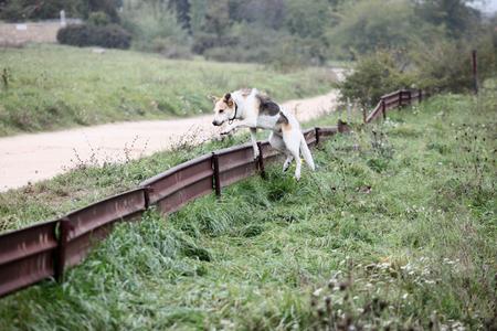 salto de valla: El perro que salta sobre la cerca en el campo.
