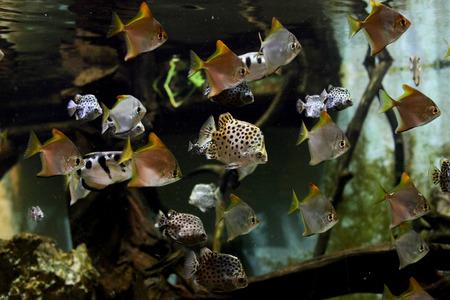 discus: Aquarium fishes, monodaktilus and discus.