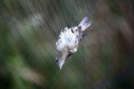 trammel: Nightingale trapped in the trammel net