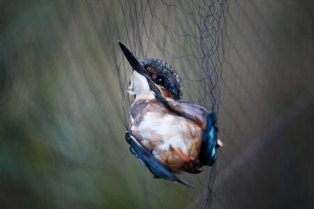 animal trap: Kingfisher trapped in the trammel net Stock Photo