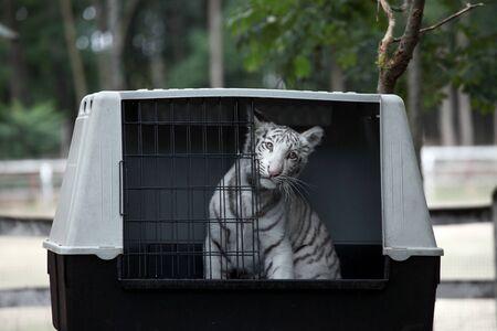 tigre bebe: Tigre blanco del bebé bengala en la jaula abierta Foto de archivo