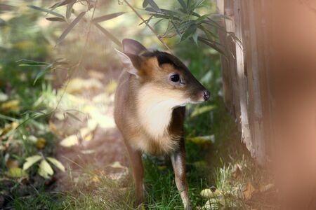 animalitos tiernos: ciervos muntjac bebé chino