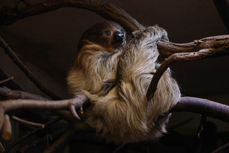sloth: Sloth on the branch in the zoo
