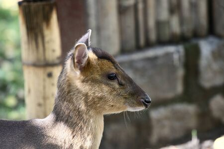 profile: Chinese muntjac deer profile