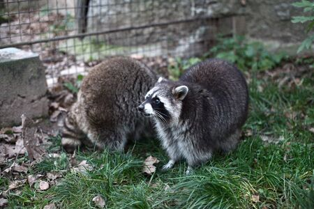 raccoons: Two raccoons on the grass