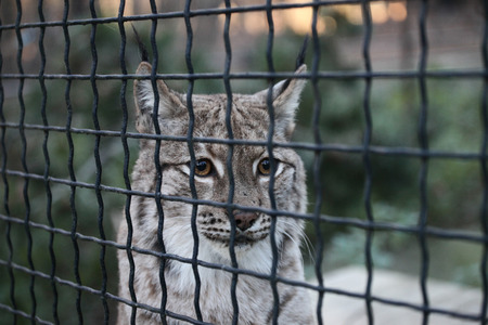 Lynx in the cage in the zoo