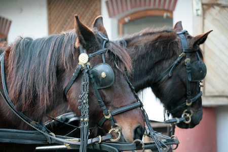Beautiful horses in blinkers 版權商用圖片