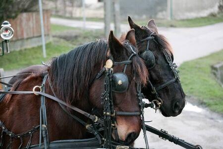 hoofed: Two beautiful horses Stock Photo