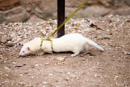 White ferret on the leash
