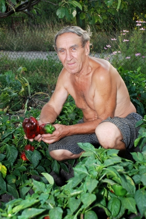 Man shows fruit of the Bulgarian pepper on the patch
