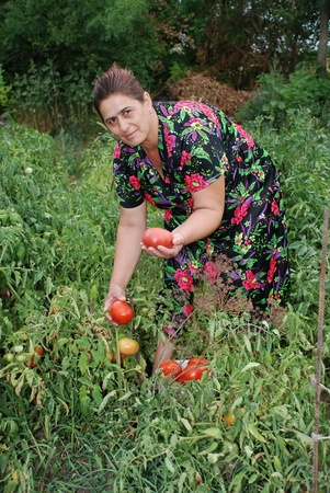 Woman collects ripe red tomatoes in division
