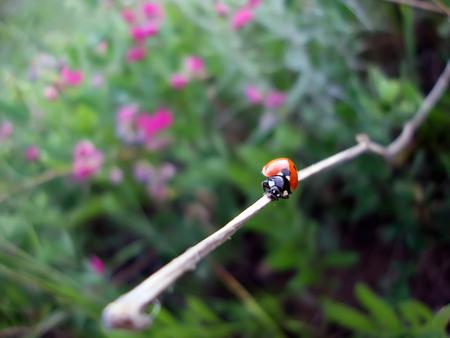 ladybug climbs up a branch macro Banco de Imagens