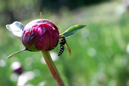 Wasp sits on a flower bud macro