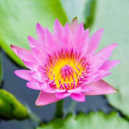 saturated color: A pink lotus flower and lily pads with saturated color