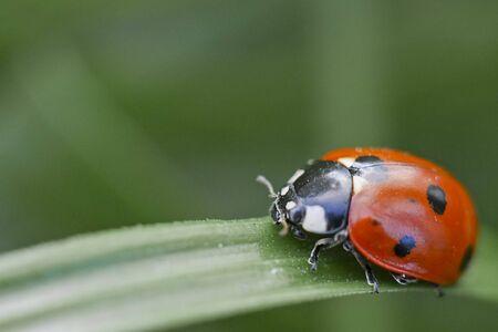 longitudinal: One ladybug on a large longitudinal leaf Stock Photo