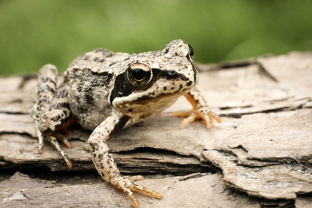 sitt: Young frog sitting quietly on a fallen tree