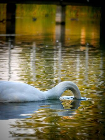 into: Swan puts his head into the water in search of food Stock Photo