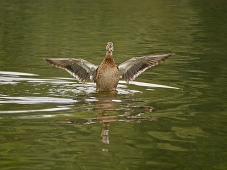 flaps: Duck flaps its wings to dry them Stock Photo