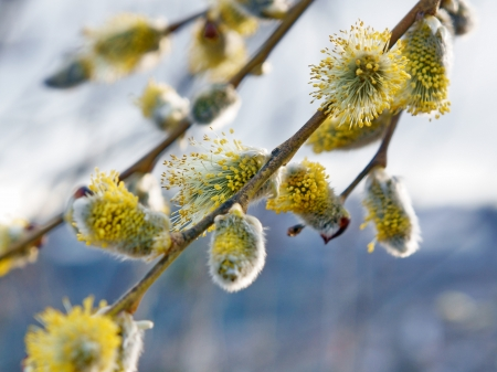 Flowering willow branch in the early  of spring  Close-up  photo